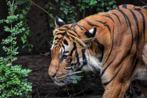 Tygří komando
